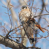 American Kestrel with lunch, Central Park