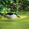 Black-Crowned Night Heron, Turtle Pond, Central Park