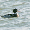 Red-Breasted Merganser, Randall's Island