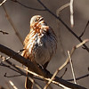 Fox Sparrow singing, Central Park
