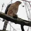 Cooper's Hawk eating a sparrow