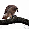 Red-Tailed Hawk eating a pigeon, Central Park