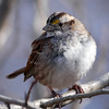 White-Throated Sparrow, Central Park