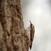 Brown Creeper, Central Park