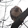 Young Red-Tailed Hawk, Central Park