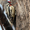 Yellow-Bellied Sapsucker, Central Park