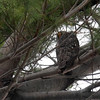 Long-Eared Owl, Central Park
