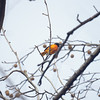 Baltimore Oriole, Central Park, 11/30/2013