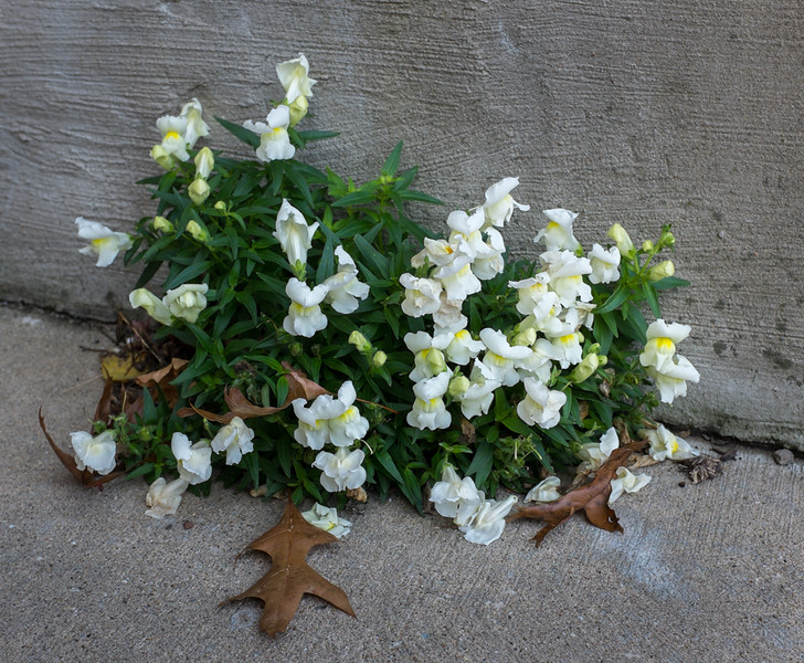 Snapdragons by the lower front door. Determined.  Like us.
