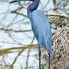 Little blue heron, Antigua, 2013