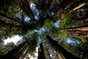 Redwoods, Straight Up! - Jedidiah Smith Redwoods Preserve, California - Don Andberg - June 2012