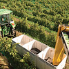 Harvesting Grapes