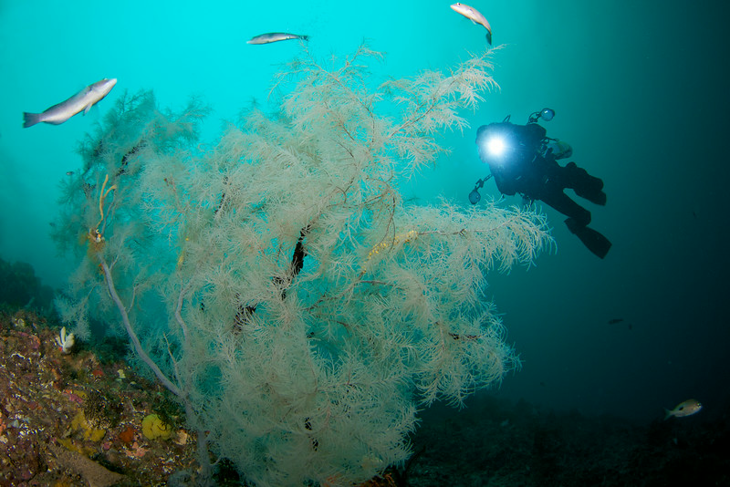 Diver and Photographer Ian Skipworth explores a large Black Coral Tree, Fiordland, New Zealand.<br /> image ©Andrew Simpson - Global Dive