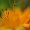 Closeup of an Orange Azalea