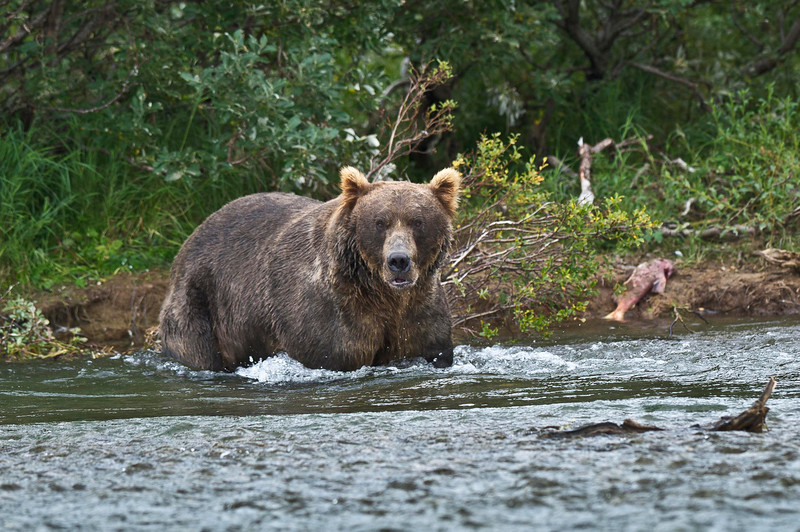 Coastal brown bear fishing for salmon<br /> Funnel creek, Katmai National Preserve<br /> Alaska<br /> © 2013