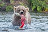 Coastal Brown Bear catch<br /> Katmai National Park & Preserve<br /> Alaska<br /> © 2014