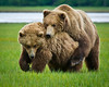 Coastal Brown Bears Feeling Frisky<br /> Katmai National Park & Preserve<br /> Alaska<br /> © 2011