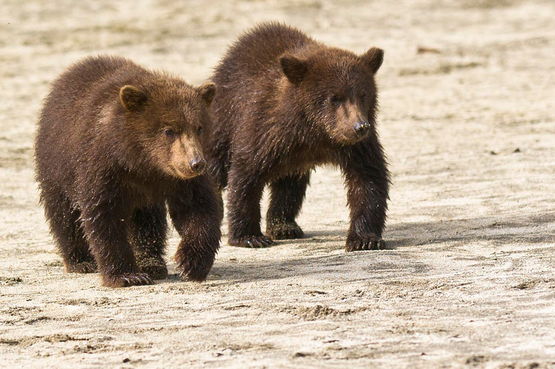 Coastal Brown Bear Cubs Kuliak Bay, Katmai National Park & Preserve Alaska © 2012