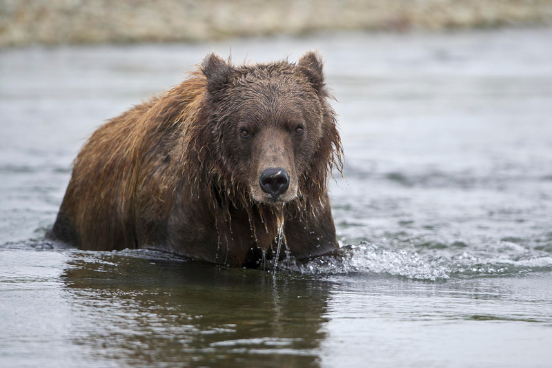 Coastal Brown Bear Up For Air Funnel Creek, Katmai National Preserve Alaska © 2013