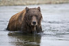 Coastal Brown Bear Up For Air<br /> Funnel Creek, Katmai National Preserve<br /> Alaska<br /> © 2013