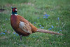 Common Pheasant (Fasan, Phasanius colchicus)