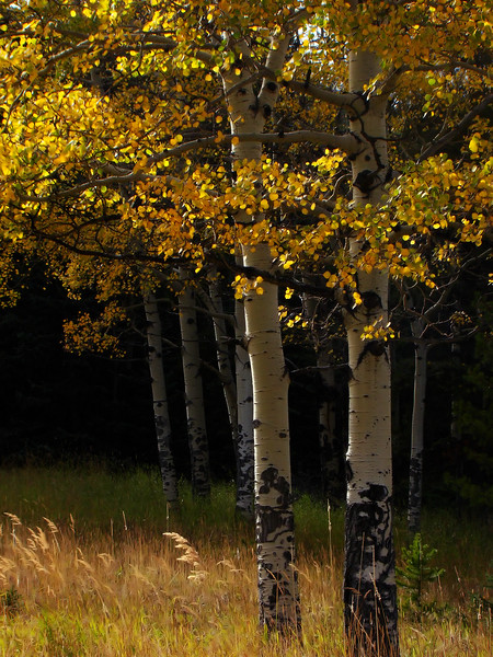 Aspens and Wild Grasses