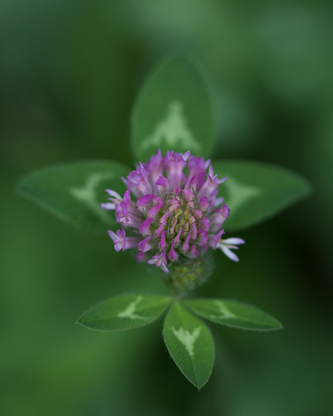 """Red Clover""<br /> <br /> I just finished up two weeks in the Roosevelt National Forest. The wildflowers were such a delight! This one is red clover (Trifolium pratense). Taken in the Roosevelt National Forest, Colorado, USA."