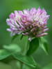 Red clover (Trifolium pratense). Taken in the Roosevelt National Forest, Colorado, USA.
