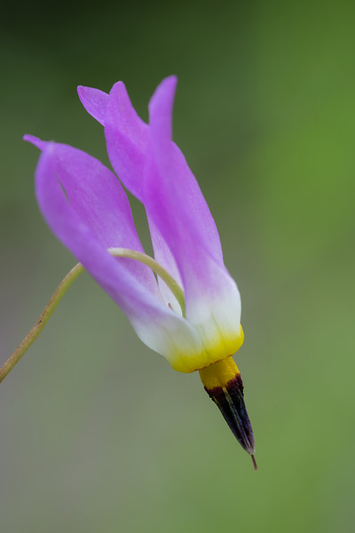 Few-flowered shooting star (Dodecatheon pulchellum). Taken in the Roosevelt National Forest, Colorado, USA.