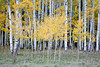 An aspen grove along Owl Creek Pass. Taken in the Uncompahgre National Forest, Colorado, USA.