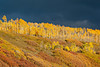 The sun breaks through a fall storm just before setting, illuminating the aspen (Populus tremuloides) and Gambel oak (Quercus gambelli). Taken in the Uncompahgre National Forest near Ridgway, Colorado, USA.