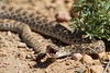 A prairie rattlesnake (Crotalus viridis viridus). Taken in the Pawnee National Grassland, Colorado, USA.