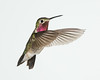 A male broadtailed hummingbird (Selasphorus platycercus). Taken in Douglas County, Colorado, USA.