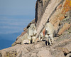 Mountain goat (Oreamnos americanus) nannies, or females, with their young kids. Taken in the Mt. Evans Wilderness Area, Colorado, USA.