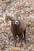 A bighorn sheep (Ovis canadensis) ram (male) standing in dried wildflowers. Taken in Clear Creek County, Colorado, USA.