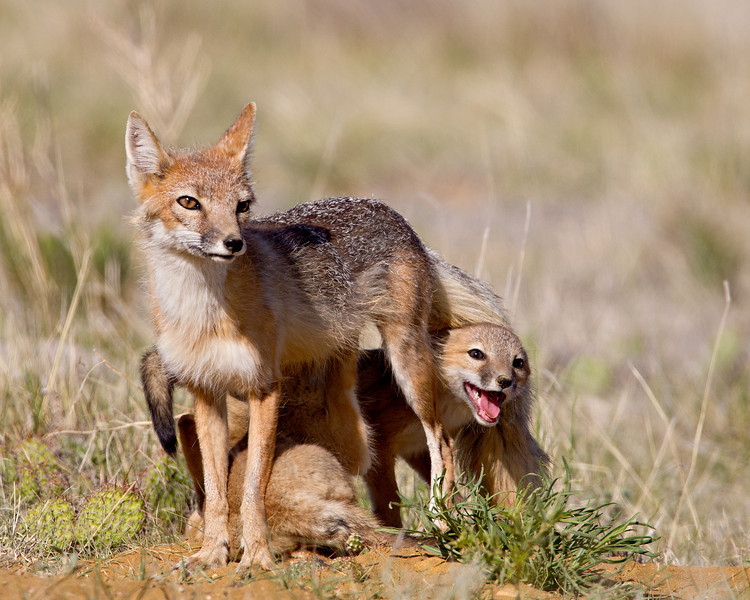 A swift fox (Vulpes velox) kit ducks under its mother's tail. Taken in the Pawnee National Grassland, Colorado, USA.