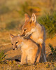 A swift fox (Vulpes velox) vixen, or female, grooms her young kit. Taken in the Pawnee National Grassland, Colorado, USA. Taken in the Pawnee National Grassland, Colorado, USA.