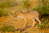Swift fox (Vulpes velox). Taken in the Pawnee National Grassland, Colorado, USA.