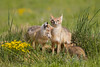 Swift fox (Vulpes velox) in the Pawnee National Grassland of Colorado, USA.