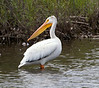 "American White Pelican (Pelecanus erythrorhynchos). Longest (50-70"") bird in North America; widest wingspan (95 - 120"") in North America.  Grand County, Colorado.  7900' elevation."