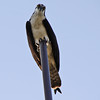Feb 18, 2013  Osprey...St Augustine Beach, Florida
