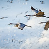 Sandhill Cranes in a Crowded Sky