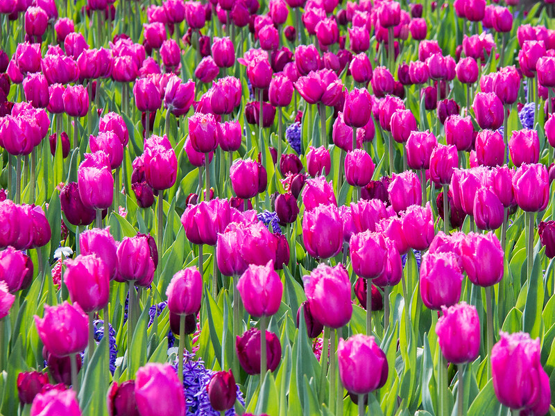21  Pink tulips