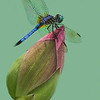 Maker:  Dale Lindenberg<br /> Title:  Dragonfly on Flower<br /> Category:  Macro/Close Up<br /> Score:  13