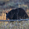 Maker:  Wayne Tabor Title:  Bear Grazing Category:  Wildlife Score:  11