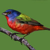 Maker:  Dale Lindenberg<br /> Title:  Painted Bunting<br /> Category:  Wildlife<br /> Score:  14