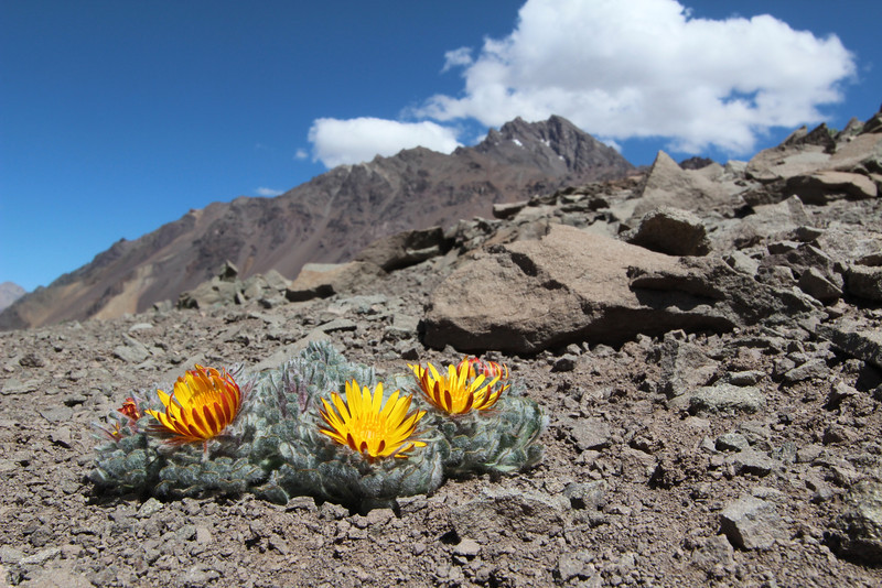 "Habitat of Chaetanthera spathulifolia (half-way up the Argentinian side of La Cumbre pass, near the Chilean border) SECOND PLACE IN CLASS 3: ""Portrait of a plant in the wild"""
