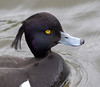Clive Wade Tufted Duck (1 of 1)