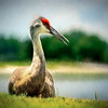 Sandhill Crane at Cheval GC