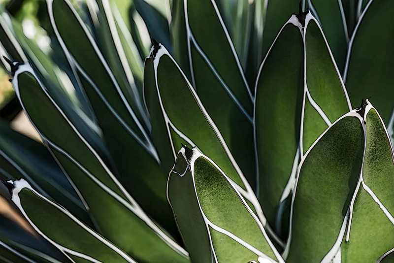 D043-2014  Century Plant. Agave victoriae-reginae, aka Queen Victoria agave<br /> .<br /> Conservatory at Matthaei Botanical Gardens, Ann Arbor.<br /> February 12, 2014